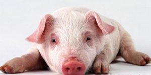 小偏方免费治猪病,让你轻松养猪!