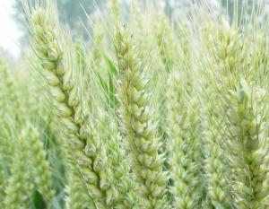 春小麦助力东北种植结构调整
