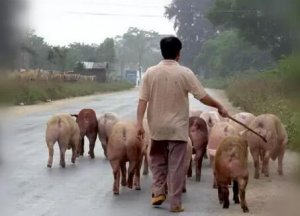 赶猪也是门学问!如何才能更快更好的赶猪?