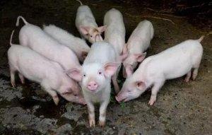 种猪引进后该如何防止应激?为了发挥其生