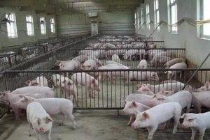 南昌县开展生猪屠宰专项整治行动严打私屠滥宰
