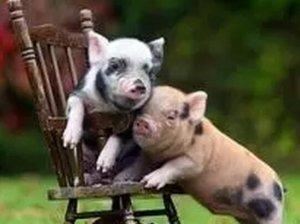 中秋节节前消费提振有限 猪价震荡调整