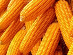 新玉米上市后价格难创新低