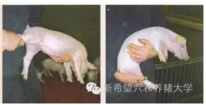 如何保证猪群均匀度?看这里!