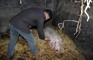 母猪猝死的防治措施,值得养猪户好好看看!