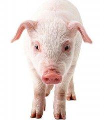 猪食物中毒的中药疗法,一般人都不知道(一)!