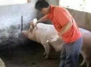 猪瘟疫苗的种类与用法
