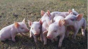 注意!别再补栏养猪了,进口肉太多,猪价涨不动