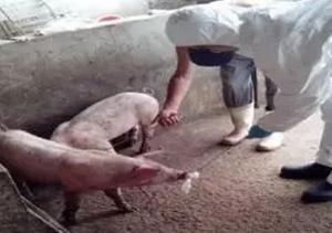 猪唾液用于疾病诊断的实用指南