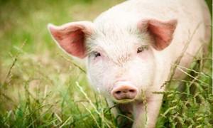 基层养猪:切勿盲目配