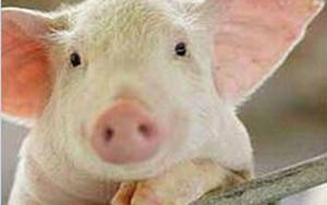 三种常见的猪内科消化