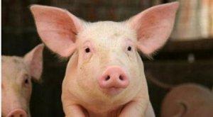 母猪存栏数据再跌 本轮猪价呈M型