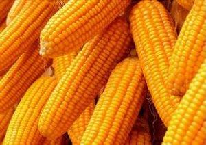 玉米价格下跌势不可挡