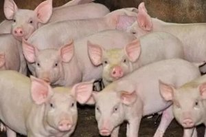 规模化养殖是我国未来生猪养殖发展的趋势