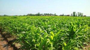 玉米价格下跌 改种青贮玉米不失为好出路