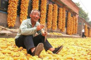 青岛:缺水少雨,十多万亩秋玉米减产 即墨部分乡镇遇旱灾