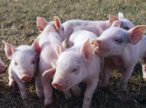 专家:猪价跌至半年来最低 为何12元/斤声音仍不绝于耳?