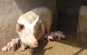 妊娠母猪的日均采食量该如何控制?