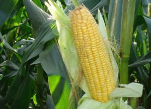 玉米下跌容易 见底难!忠告贸易商,少动为宜!