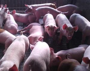 电子饲喂模式对母猪福利、健康和生产水平的影响!