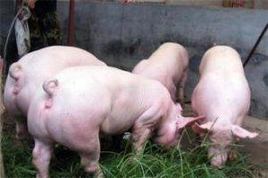 猪价博弈将加剧 过度压栏不可取