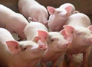 养猪业整体盈利还在继续 养殖户需警惕价格变动风险