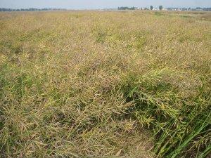 降雨将助力欧盟油菜籽产量恢复