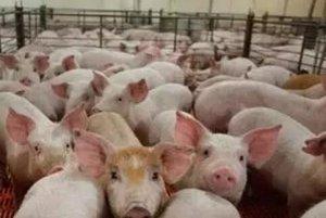 猪圆环病毒与猪丹毒、猪巴氏杆菌病 混合感染的诊治