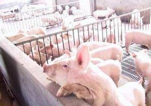 猪周期还存在,不能只看存栏数据 供应已经不再趋紧