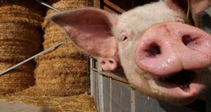 9月猪价说好上涨却暴跌 是谁在背后搞的鬼
