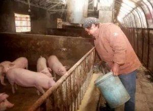 买饲料时不注意小心导致猪丧命!做好这些才能......