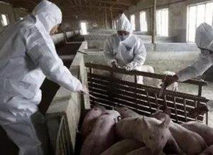 猪场疫苗做不好,倒闭随时可能发生,养猪人必须知道的疫苗知识!