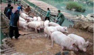 可怕!今年广西查获越南走私猪26.26万头,案值4.35亿元