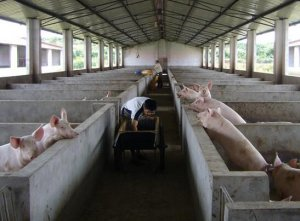 猪价连续下跌,压栏风险加大