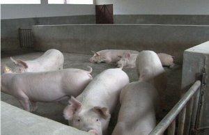 余姚民企打造生猪全产业链