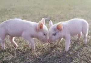 如何准确区分猪流感与猪感冒?