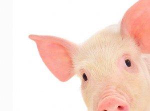 """东北猪价跌至7元时代 分析师认为进口肉走私猪其""""罪""""难逃"""