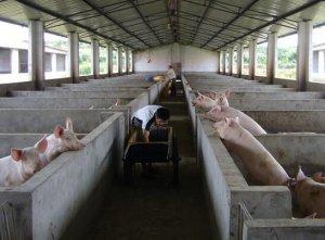 何为超级母猪?饲养管理有哪些需要注意的地方......