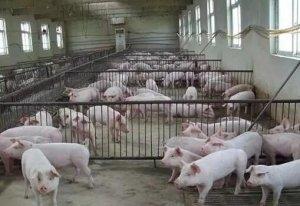 养猪新手:新建猪场该如何选购设备?