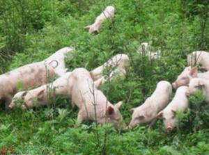 猪价暴跌:消费低迷、屠企压价、养户抛售,走私猪、进口肉是原因,养猪业面临再一次洗牌