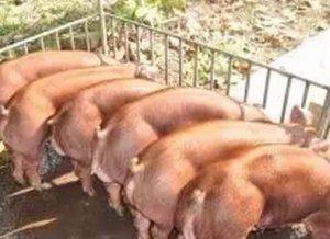 醒醒吧!养猪的十一个误区,你中招了没?