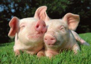 我国今年前三个季度进口猪肉猛促使养猪业洗牌