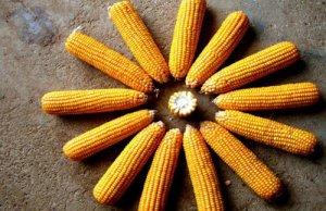 玉米:政策调整奠定基调,中长期仍将持续
