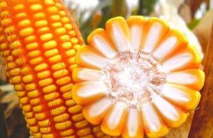 玉米收获过8成 局部地区继续上涨