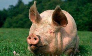 后备母猪为什么体重很