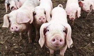 猪价反弹,四季度猪价上涨大幕已拉开?