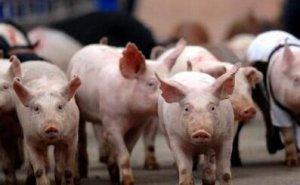 统计局:2016年前三季度生猪出栏47924万头 猪肉产量3690万吨
