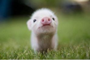 今日猪评:国内猪价稳中小幅上扬行情为主