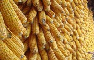 玉米深加工企业价格延续涨势 饲用玉米则