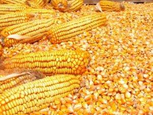 玉米价格集中上涨!11月豆粕价格可能会跌!